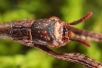 Achrioptera punctipes