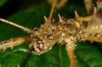 Aretaon asperrimus - Straszyk rogaty