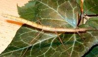 Carausius morosus - Patyczak indyjski