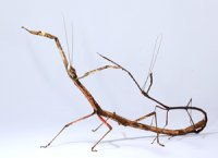 Carausius spinosus