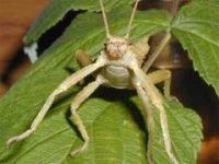 Eurycantha calcarata spp. - Straszyk indonezyjski