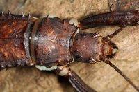 Eurycantha calcarata - straszyk nowogwinejski