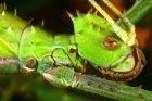 Heteropteryx dilatata - straszyk olbrzymi