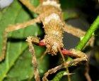 Lamponius guerini - straszyk gwadelupski