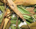 Malacomorpha cyllarus