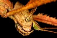 Medauroidea extradentata - Patyczak rogaty