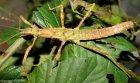 Neohirasea hongkongensis