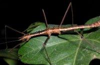 Neohirasea maerens - Straszyk kolczasty