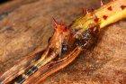 Parectatosoma mocquerysi