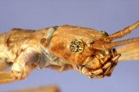 Phaenopharos khaoyaiensis - Patyczak czerwonoskrzydły