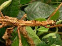 Phasmotaenia spinosa