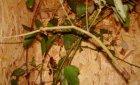 Phobaeticus serratipes - Patyczak gigant