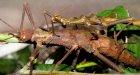 Trachyaretaon carmelae